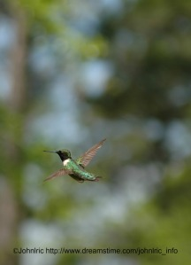 Humming Bird copyright Johnlric dreamtime.com
