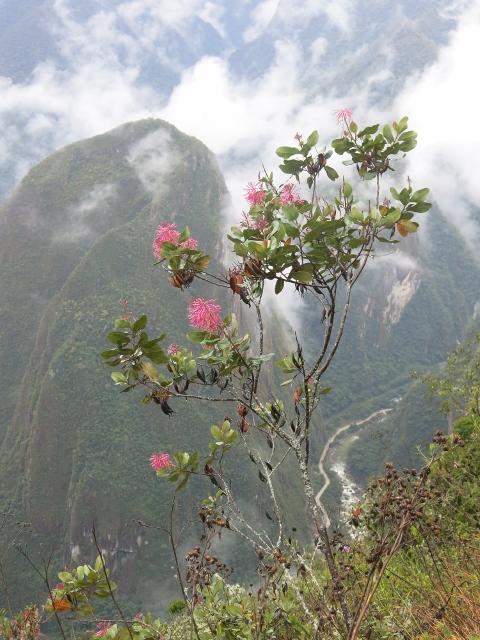 Flowers at Machu Picchu